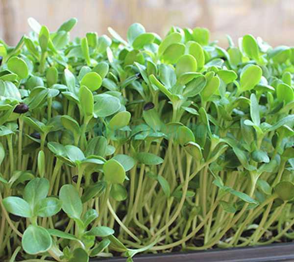 Cách trồng rau mầm tại nhà đơn giản