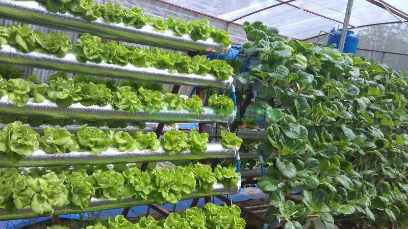 Cách trồng rau bằng phương pháp thủy canh