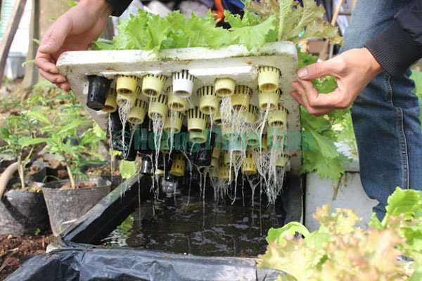 Cách trồng rau bằng phương pháp thủy canh 1