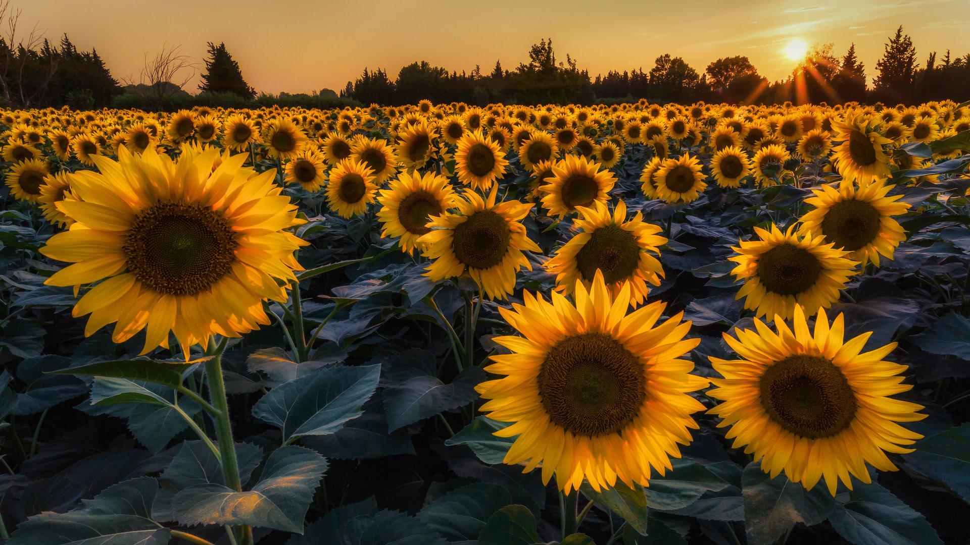 Hình ảnh hoa hướng dương đẹp nhất (4K) 3
