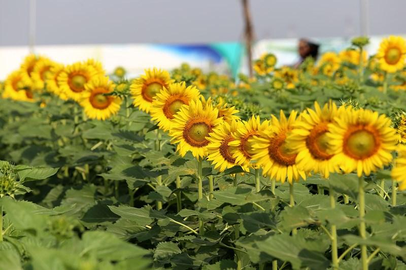 Hình ảnh hoa hướng dương đẹp nhất (4K) 4