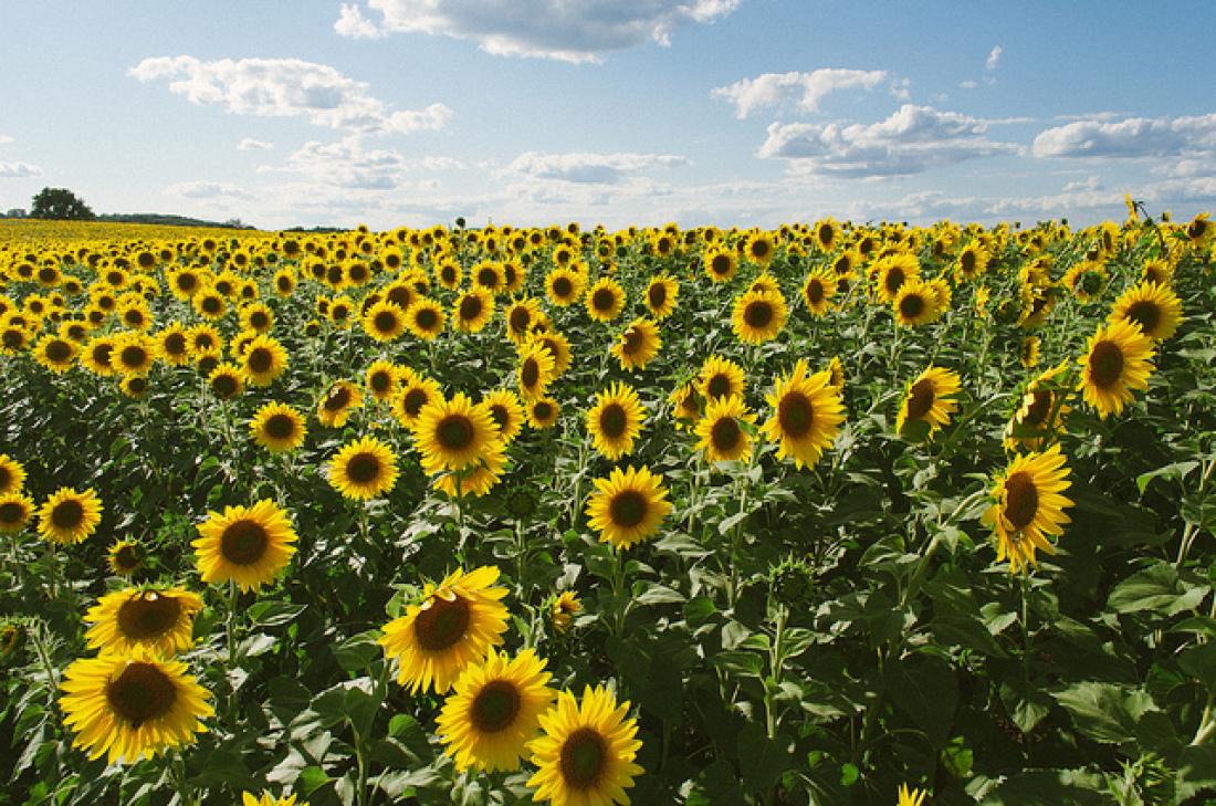Hình ảnh hoa hướng dương đẹp nhất (4K) 2