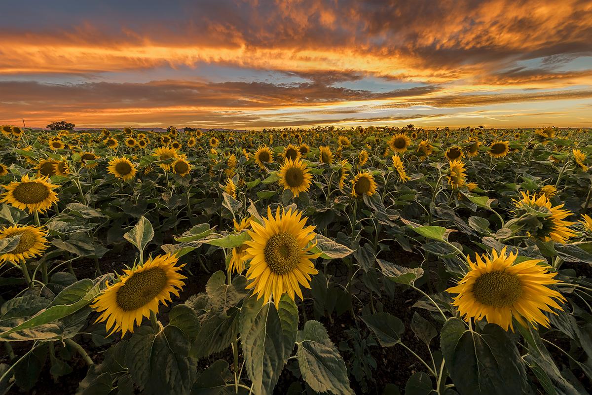 Hình ảnh hoa hướng dương đẹp nhất (4K) 1