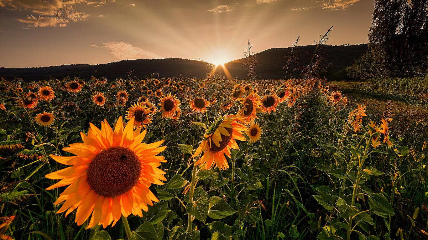 Hình ảnh hoa hướng dương đẹp nhất (4K) 5