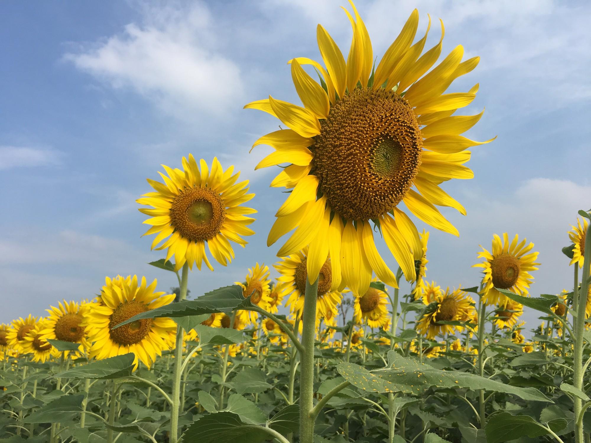 Hình ảnh hoa hướng dương đẹp nhất (4K) 9