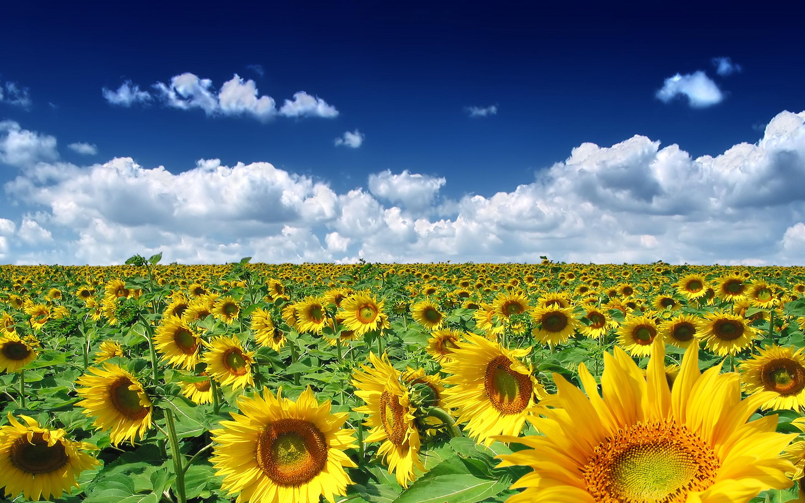 Hình ảnh hoa hướng dương đẹp nhất (4K) 7