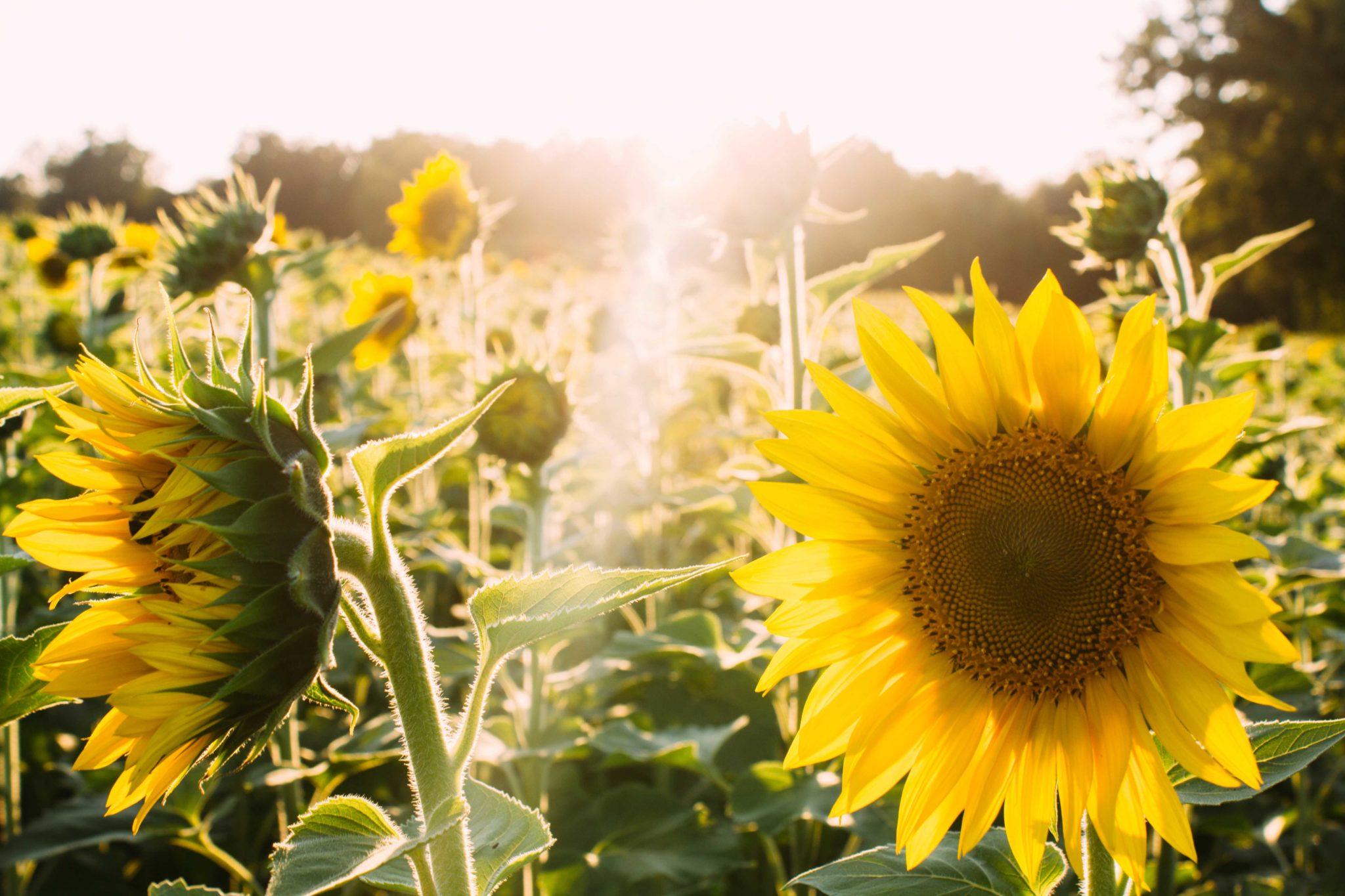 Hình ảnh hoa hướng dương đẹp nhất (4K) 12