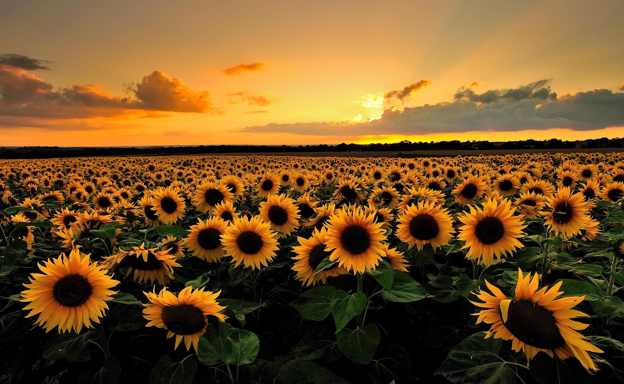 Hình ảnh hoa hướng dương đẹp nhất (4K) 13