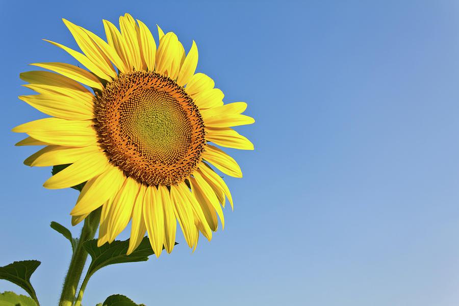 Hình ảnh hoa hướng dương đẹp nhất (4K) 15