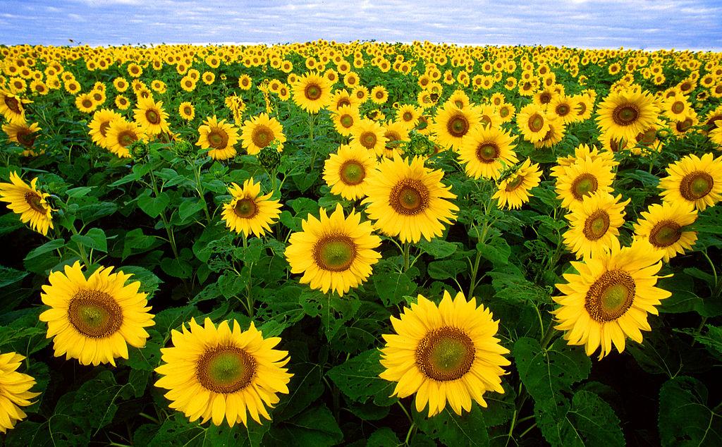 Hình ảnh hoa hướng dương đẹp nhất (4K) 17