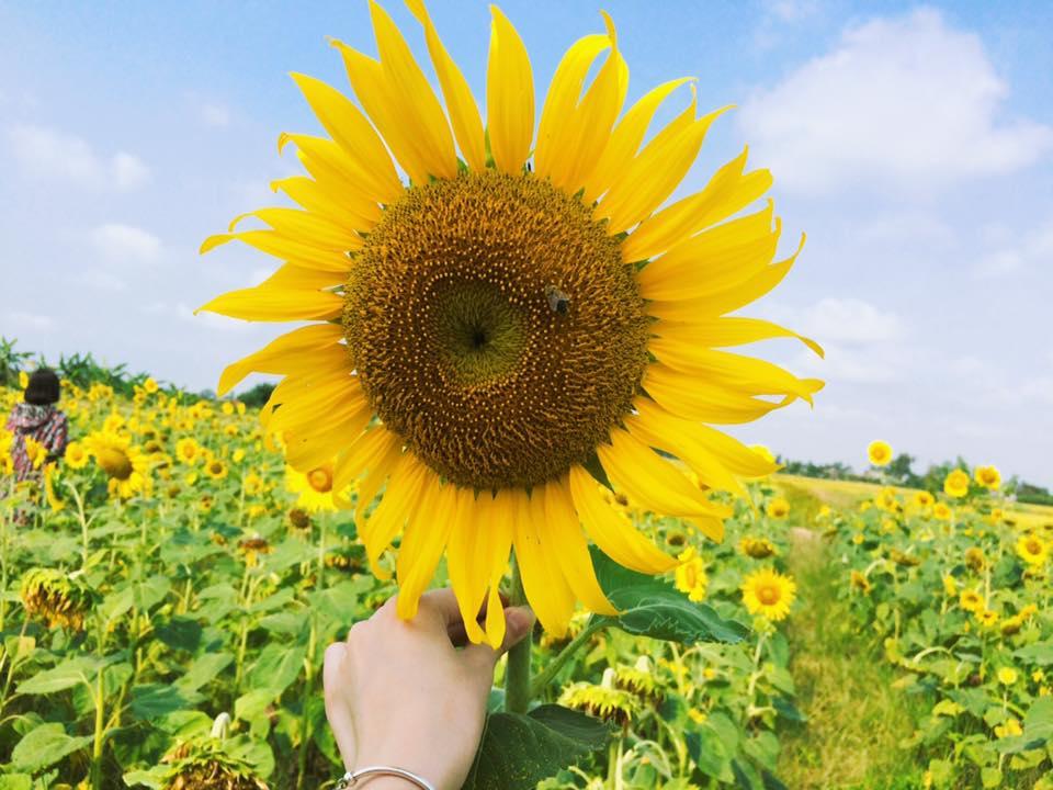 Hình ảnh hoa hướng dương đẹp nhất (4K) 18
