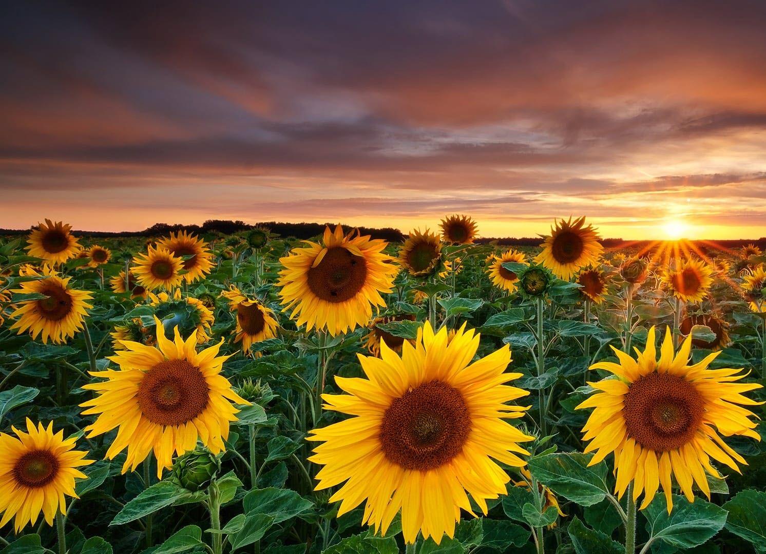 Hình ảnh hoa hướng dương đẹp nhất (4K) 16