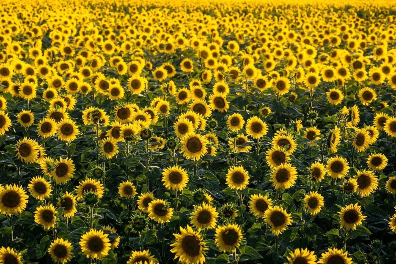 Hình ảnh hoa hướng dương đẹp nhất (4K) 19