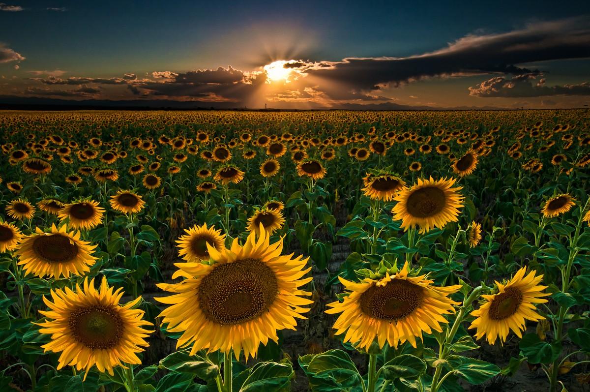 Hình ảnh hoa hướng dương đẹp nhất (4K) 22