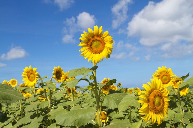 Hình ảnh hoa hướng dương đẹp nhất (4K) 21
