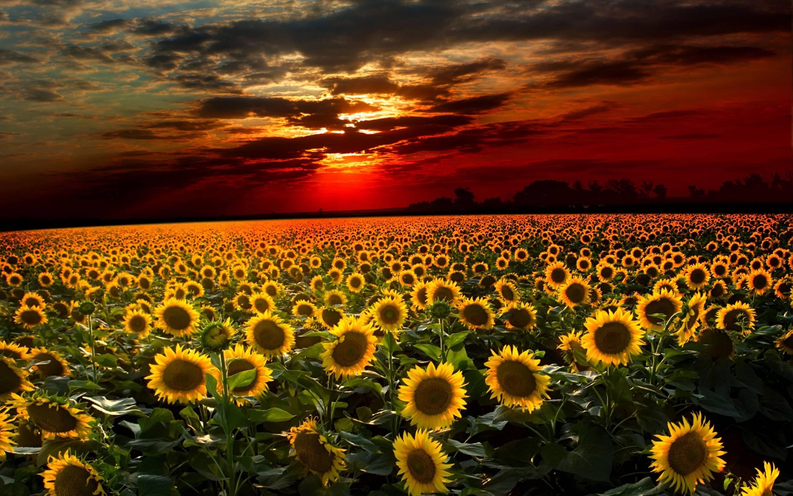 Hình ảnh hoa hướng dương đẹp nhất (4K) 24