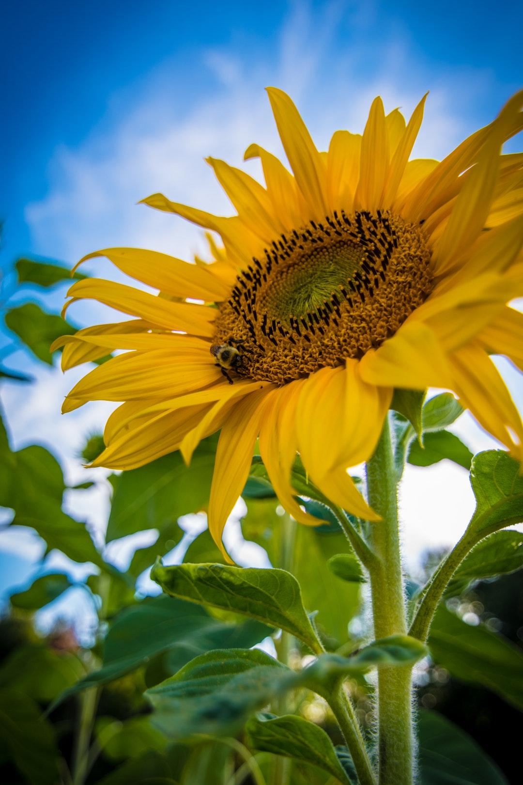 Hình ảnh hoa hướng dương đẹp nhất (4K) 26