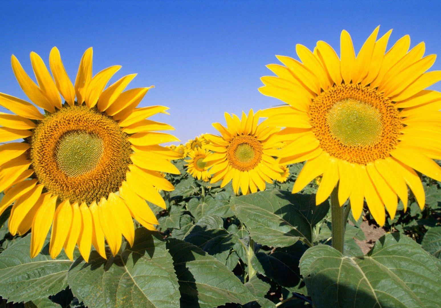 Hình ảnh hoa hướng dương đẹp nhất (4K) 27