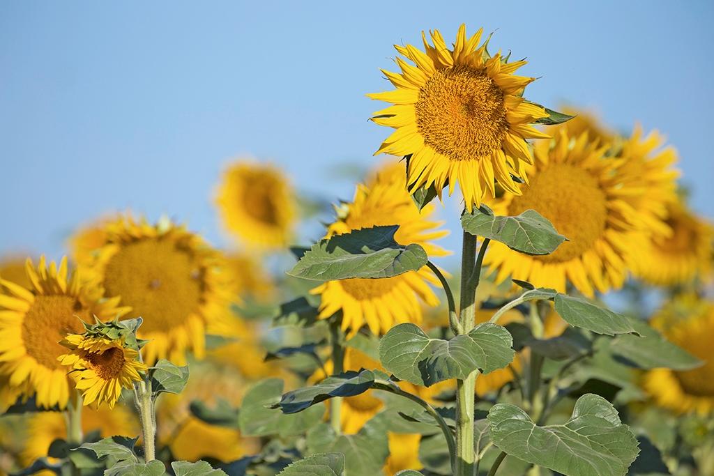 Hình ảnh hoa hướng dương đẹp nhất (4K) 25