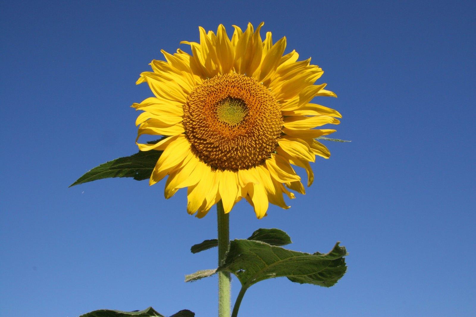 Hình ảnh hoa hướng dương đẹp nhất (4K) 30