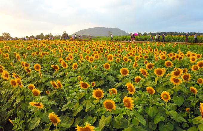 Hình ảnh hoa hướng dương đẹp nhất (4K) 31