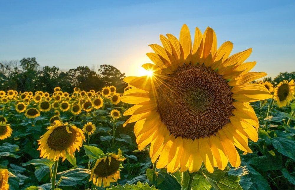 Hình ảnh hoa hướng dương đẹp nhất (4K) 32