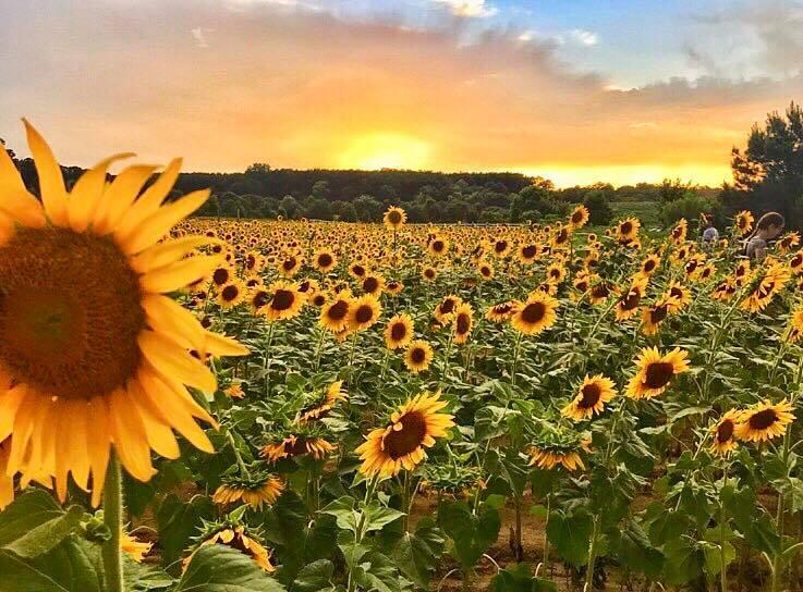 Hình ảnh hoa hướng dương đẹp nhất (4K) 33