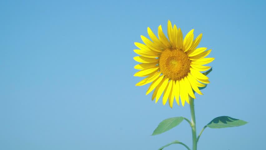 Hình ảnh hoa hướng dương đẹp nhất (4K) 35