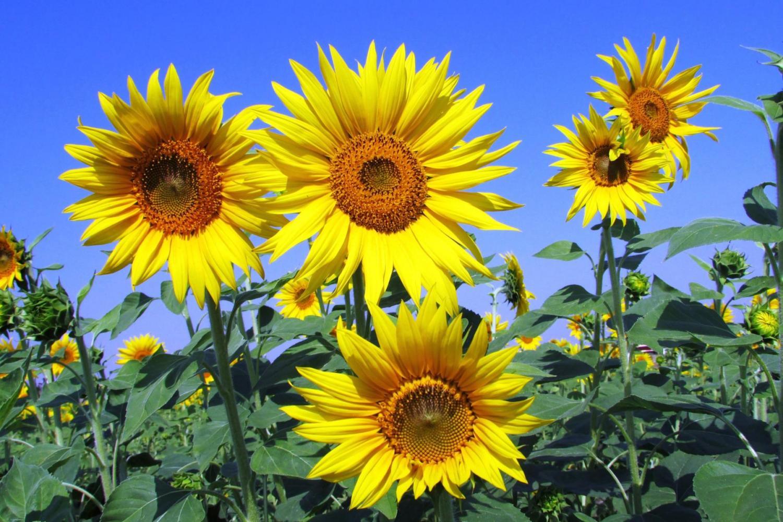 Hình ảnh hoa hướng dương đẹp nhất (4K) 34