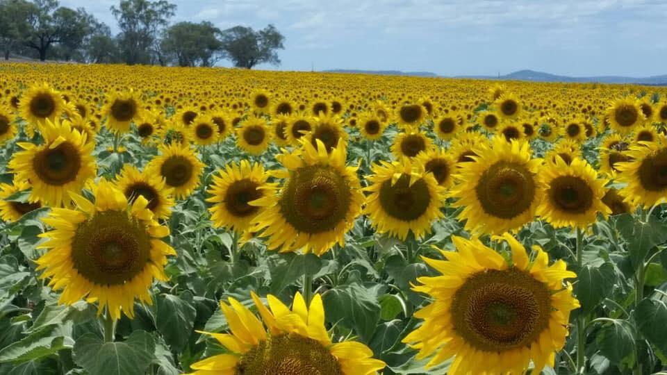 Hình ảnh hoa hướng dương đẹp nhất (4K) 37