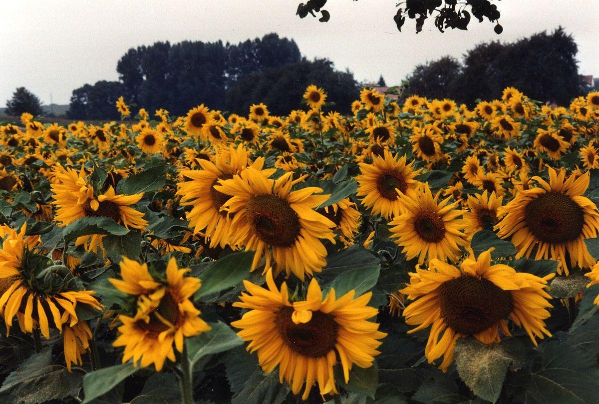 Hình ảnh hoa hướng dương đẹp nhất (4K) 38