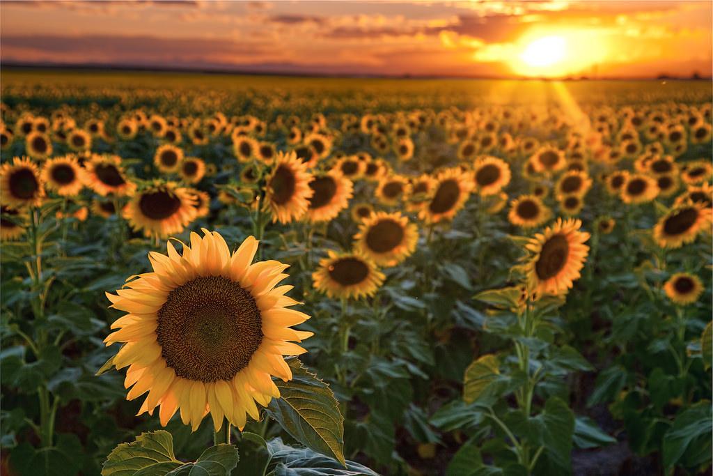 Hình ảnh hoa hướng dương đẹp nhất (4K) 39