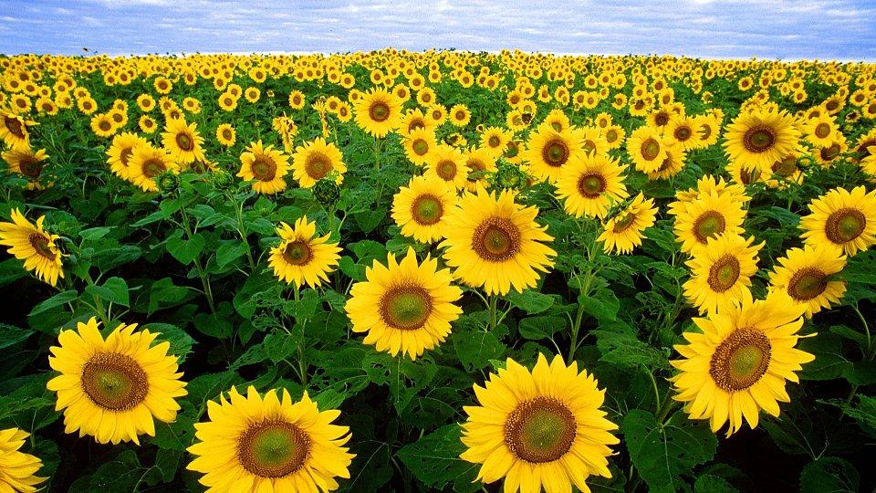 Hình ảnh hoa hướng dương đẹp nhất (4K) 41