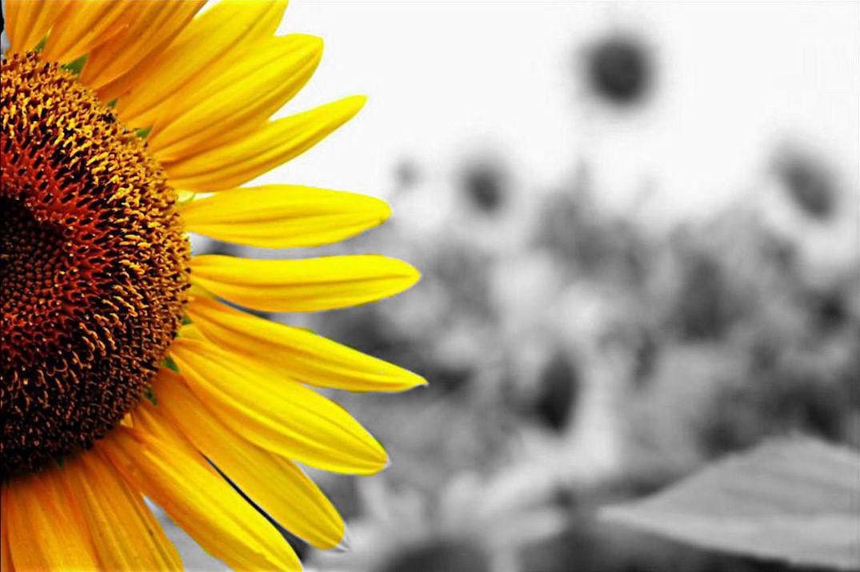 Hình ảnh hoa hướng dương đẹp nhất (4K) 42