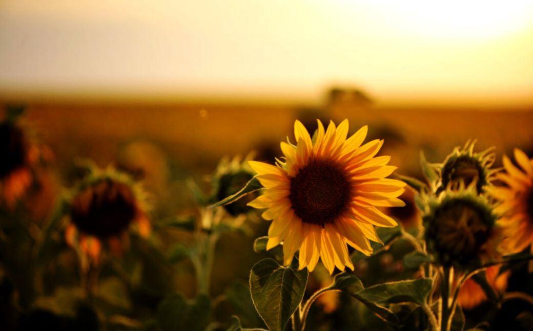 Hình ảnh hoa hướng dương đẹp nhất (4K) 43