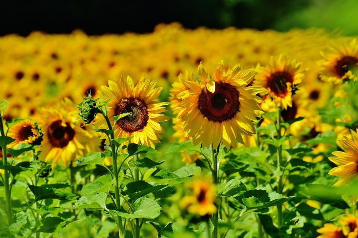 Hình ảnh hoa hướng dương đẹp nhất (4K) 44