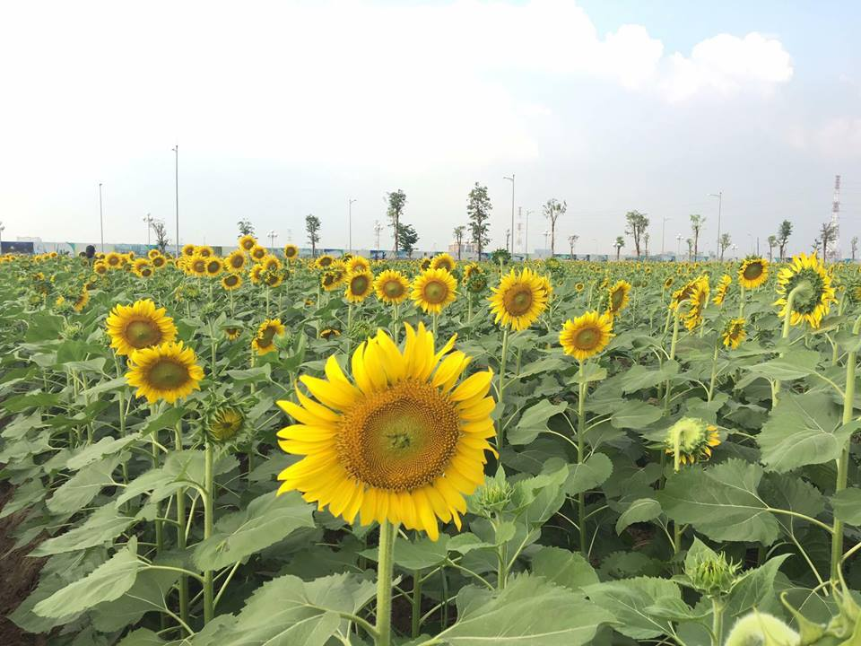 Hình ảnh hoa hướng dương đẹp nhất (4K) 45