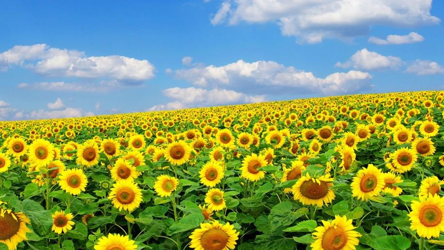 Hình ảnh hoa hướng dương đẹp nhất (4K) 46