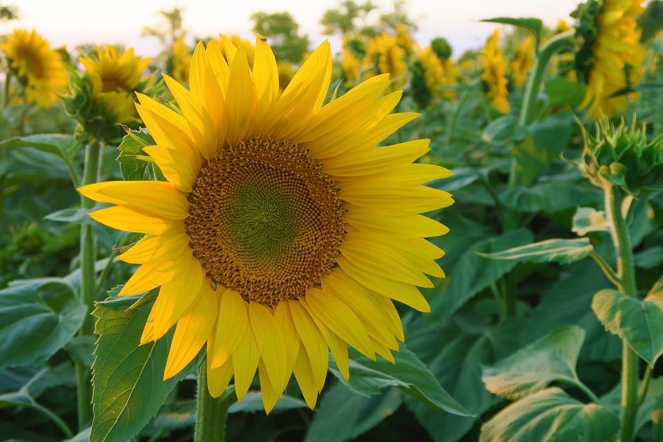 Hình ảnh hoa hướng dương đẹp nhất (4K) 48