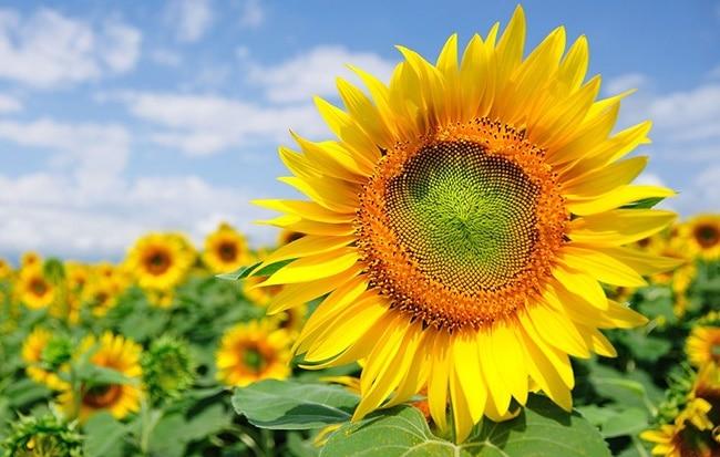 Hình ảnh hoa hướng dương đẹp nhất (4K) 50