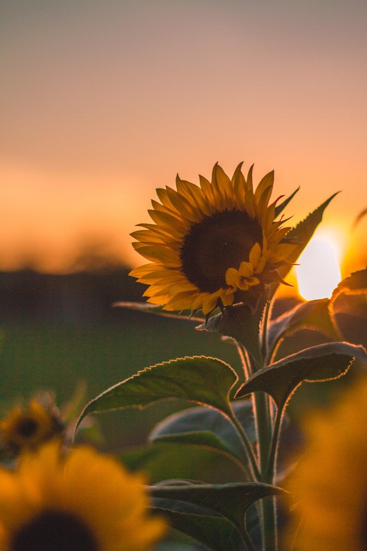 Hình ảnh hoa hướng dương đẹp nhất (4K) 47