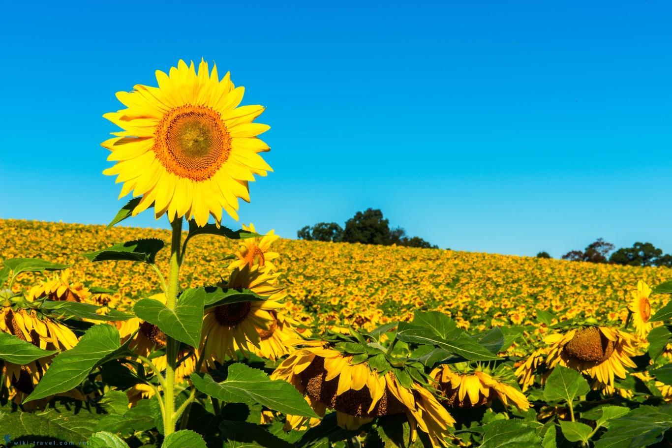 Hình ảnh hoa hướng dương đẹp nhất (4K) 52