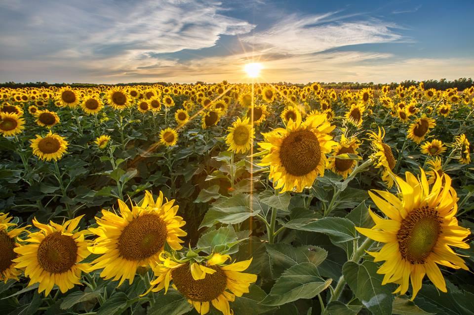 Hình ảnh hoa hướng dương đẹp nhất (4K) 54