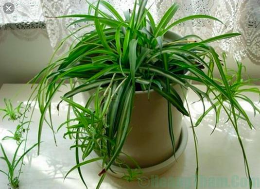 Cây dây nhện - trồng cây trong nhà