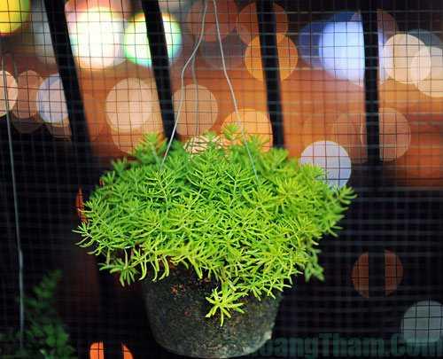 cây sam thái - cây trồng trong nhà